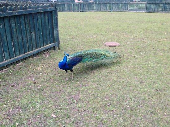 East Park: peacock