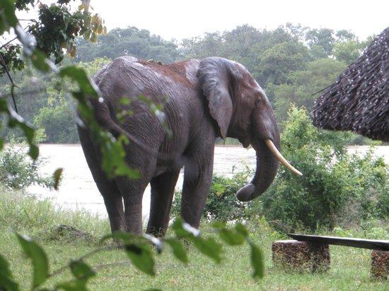 Croc Valley Camp: L'éléphant en visite au lodge