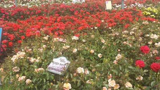 Seoul Grand Park: Las rosas