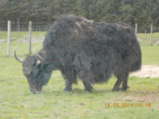 Highland Wildlife Park: close up in car
