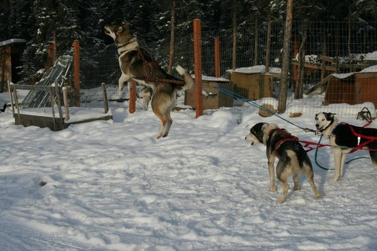 Sirius Sled Dogs & Aurora Tours : Can't wait to go!