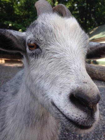 Arkansas Alligator Farm & Petting Zoo: Goat selfie.