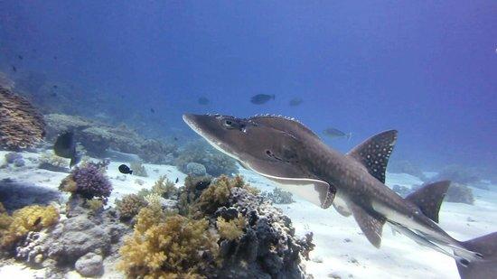 "Melia Sinai: GuitarShark (diving with ""Extra Divers"")"