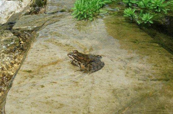 Gibraltar Botanic Gardens (The Alameda): frog in the pond