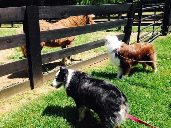 Aspen Dale Winery at the Barn: dogs looking at ponies