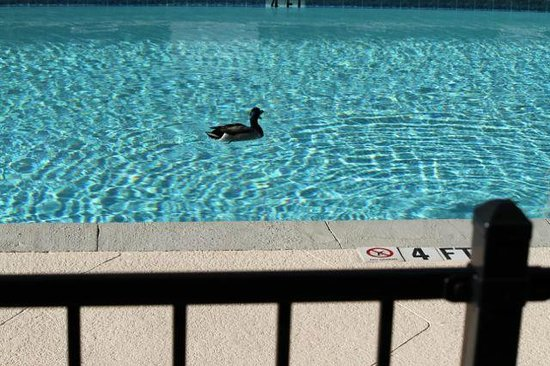 Courtyard Greensboro: The Marriott Mascot taking his morning swim