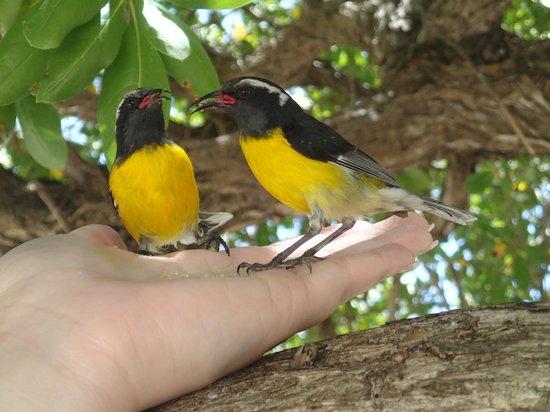 Bluebeard Charters: Bananaquit birds
