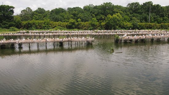 Tabasco Visitor Center and Pepper Sauce Factory: Bird City- egret nesting
