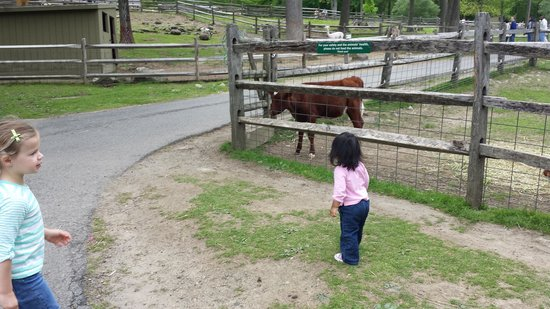Stamford Museum & Nature Center : listening to the moooo of a calf.
