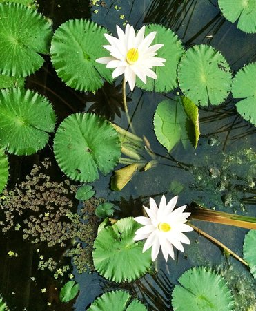 Ananda Cottages: Lovely lotus flowers