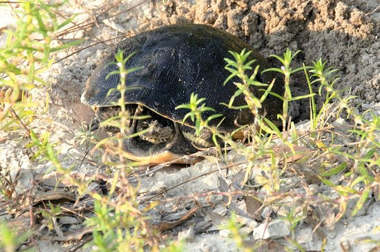 St. Andrews State Park: Turtle