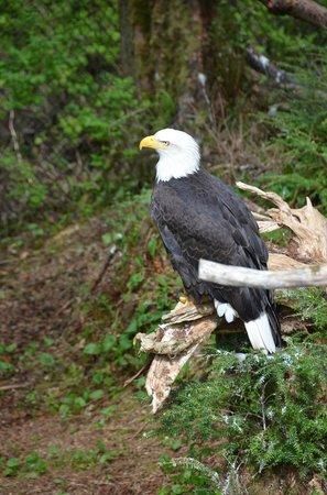 Alaska Raptor Center: Bald eagles up close and personal