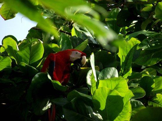 Jinetes de Osa Hotel: ara rouge devant la chambre