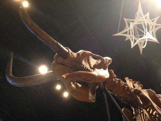 Mastodon Skeleton Picture Of Creation Museum Petersburg