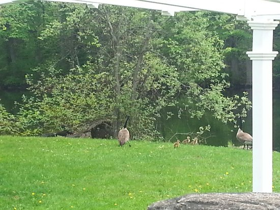 The Falls Inn & Spa: Geese on the grounds