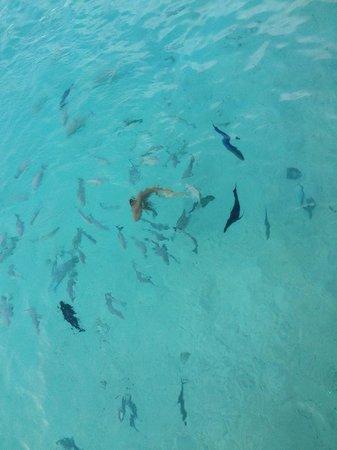 The Sun Siyam Iru Fushi Maldives: Feeding fish