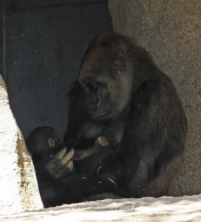 Escondido, Californien: Gorilla and baby