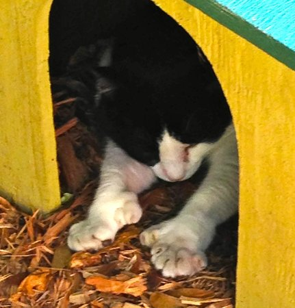 Casa y Museo de Ernest Hemingway: Polydactyl cats     6-toed