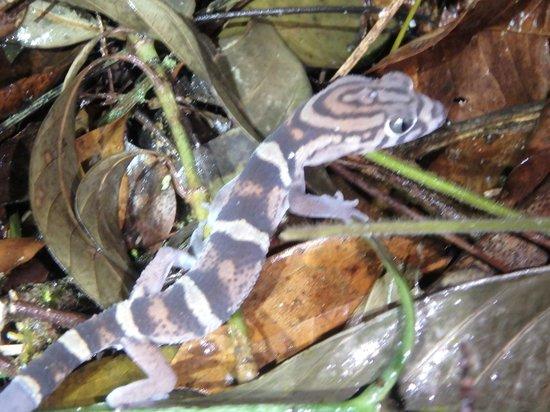 Belize Nature Travel: Night Tour Ghecko