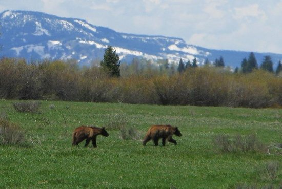 Jackson Lake Lodge : Griz cubs spotted about 200 meters from the lodge.
