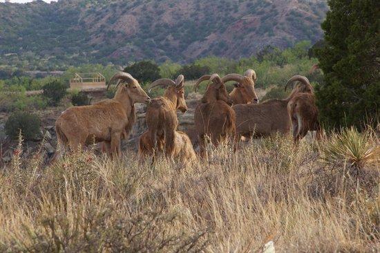 Palo Duro Canyon State Park : Barbary Sheep