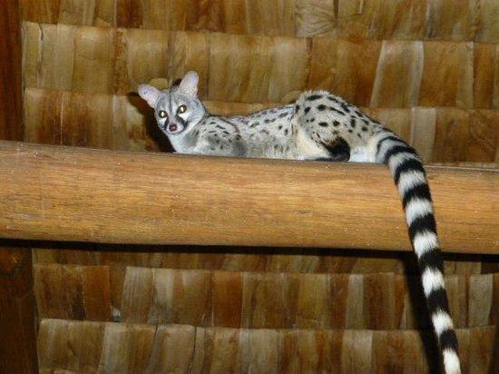 Ndutu Safari Lodge: Genet in lounge area
