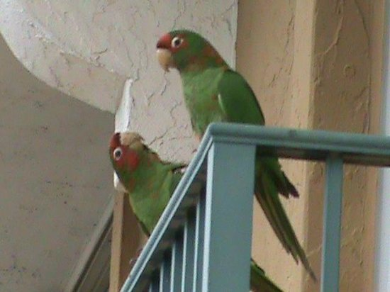 Embassy Suites by Hilton Fort Lauderdale 17th Street: Parrots on Balcony