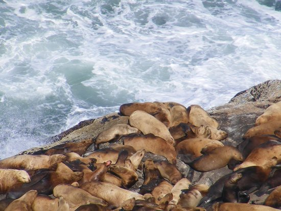Sea Lion Caves: Sea lions crowding in as waves carry them in.
