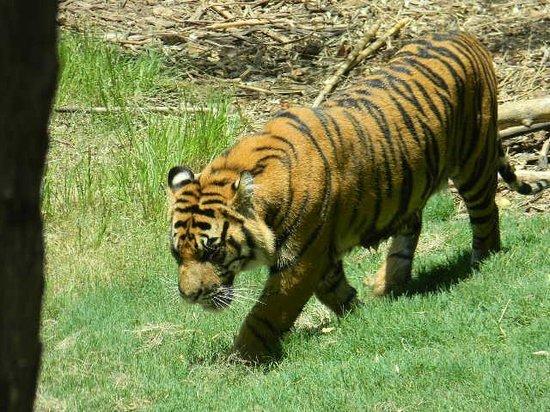 Zoo Atlanta: Tigerrrrrs
