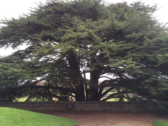 Adare Manor: Here's the Cedar of Lebanon described by marker