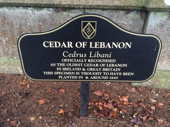 Adare Manor: Oldest Cedar of Lebanon in Ireland and UK