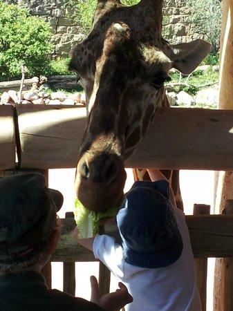 Cheyenne Mountain Zoo: Feeding Giraffes