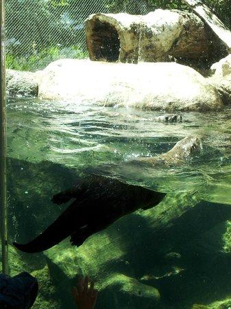 Cheyenne Mountain Zoo: River Otter