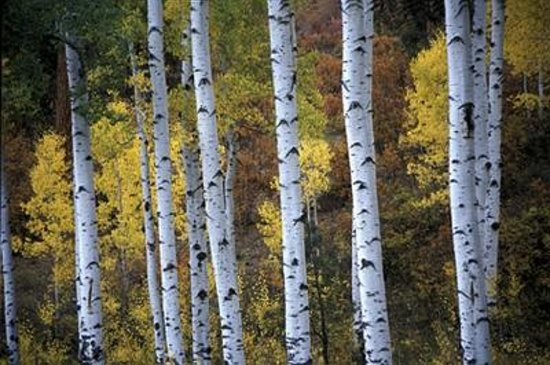 Hyatt Residence Club Grand Aspen: aspen trees in the fall beautiful
