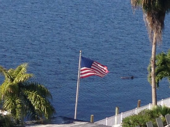 Best Western Fort Myers Waterfront: Dolphins just outside of the pool.