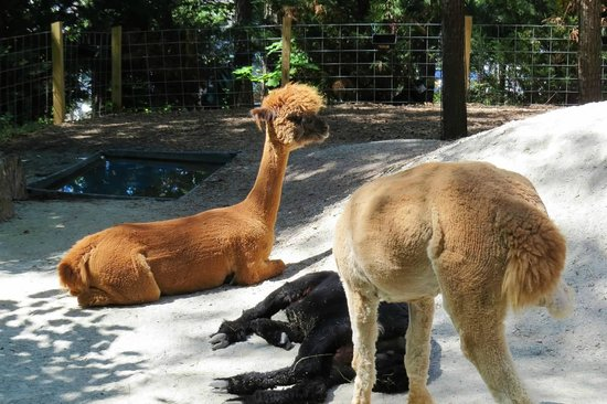 Museum of Life + Science: Alpacas