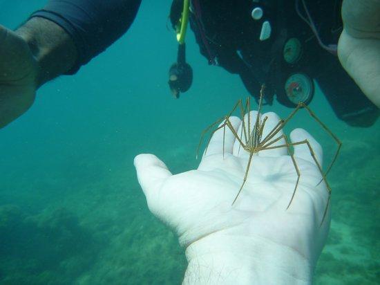 Snuba Saint Lucia: Spider crab