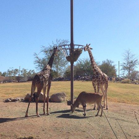 Phoenix Zoo: 입구에서 정면으로 보이는 기린우리