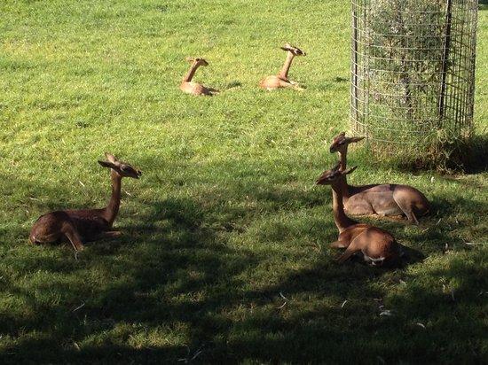 Phoenix Zoo: 임팔라들