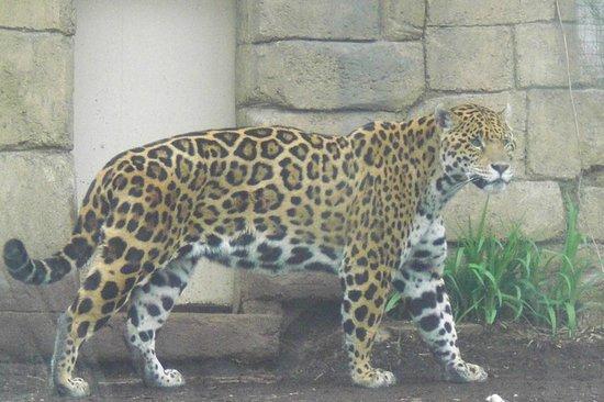 Toronto Zoo : Awesome Jaguar