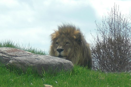 Toronto Zoo : Lion just waking up from his nap