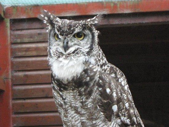 Raptor Foundation: serious owl