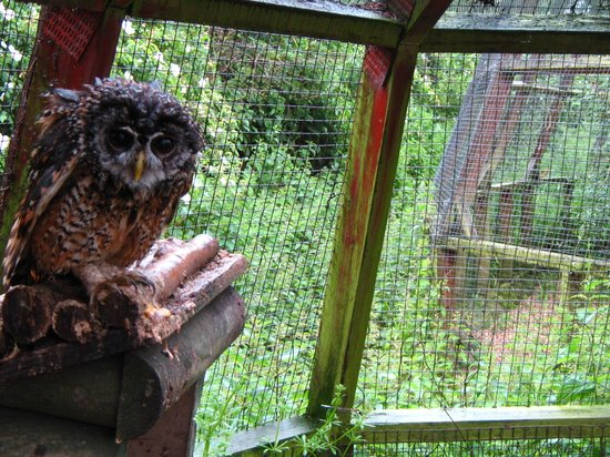 Raptor Foundation: sweet owl