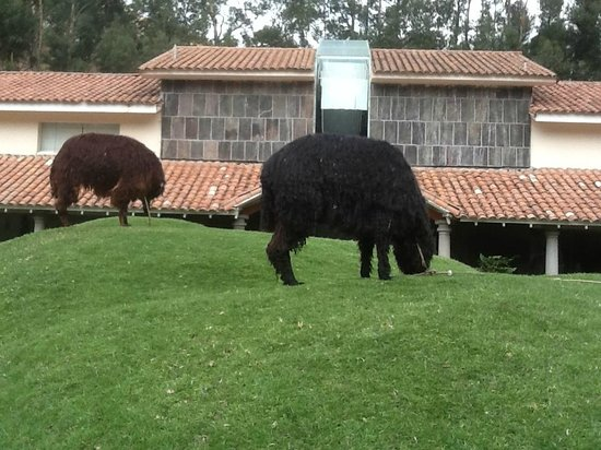Aranwa Sacred Valley Hotel & Wellness: Llamas munching on the grass in the central area