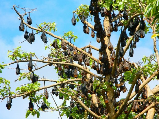 Charters Towers Visitor Information Centre: Charters Towers fruit bats