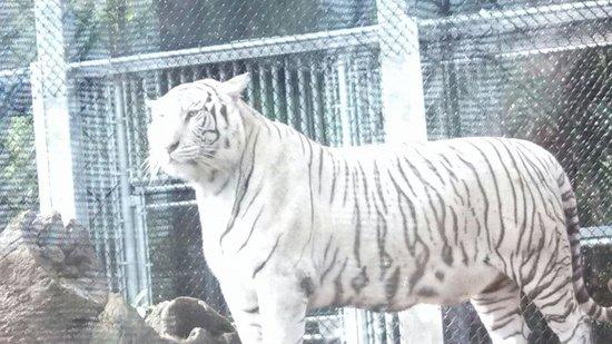 Jungle Island: White tiger