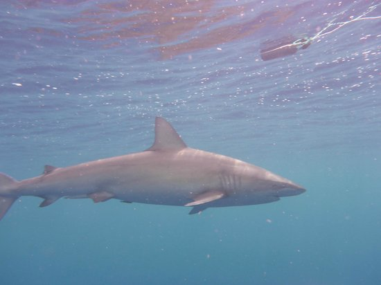 North Shore Shark Adventures : magnificent