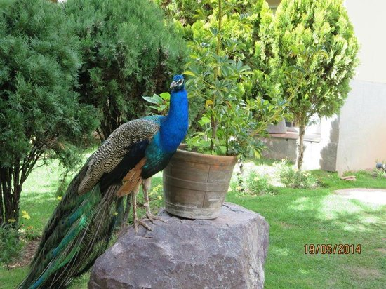 Aranwa Sacred Valley Hotel & Wellness: Regal Peacock ovelooking his domain