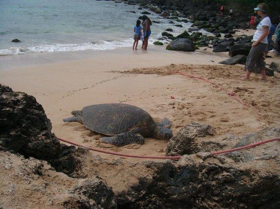 Laniakea Beach: One of the turtles who came up to sunbath