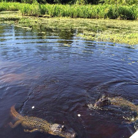 Tours by Isabelle: Marvel at how big and powerful the alligators are